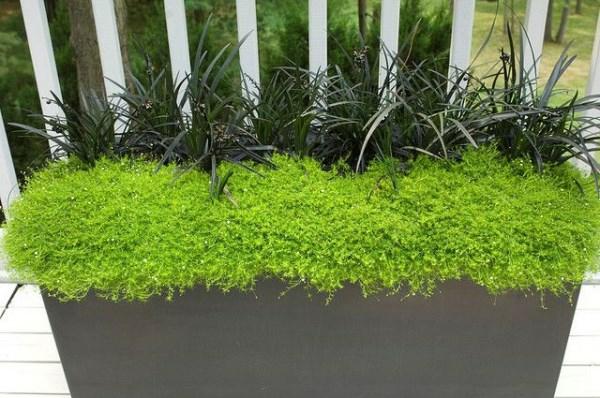 gartendesign pflanzenlexikon  moos pflanzen
