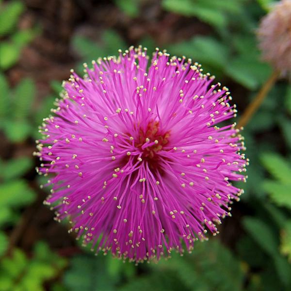 mimosa blume blüten farben