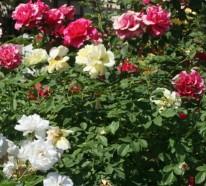 Rosen schneiden: Rosenrückschnitt im Frühling und im Herbst