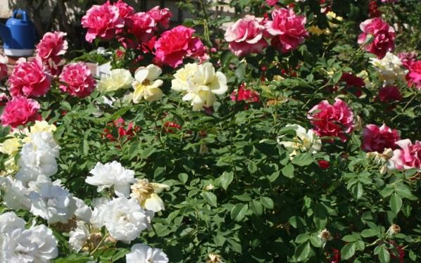rosenrückschnitt im frühjahr buschrosen art