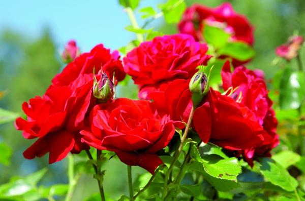 rosenrückschnitt im frühjahr buschrosen frisch