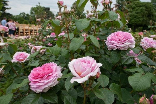 frühjahr buschrosen rosenrückschnitt gärtnerei