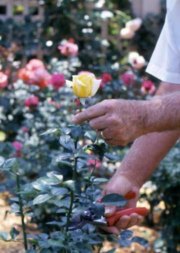 frühjahr buschrosen gartenbau rosenrückschnitt