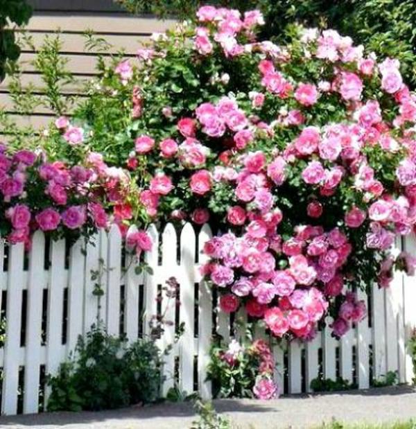 rosenr ckschnitt im fr hling und im herbst rosen richtig. Black Bedroom Furniture Sets. Home Design Ideas