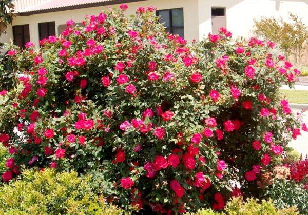 rosen rot rückschnitt im frühjahr buschrosen idee