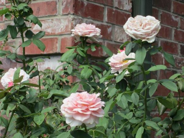 rosen rückschnitt zart farben im frühjahr buschrosen rosa