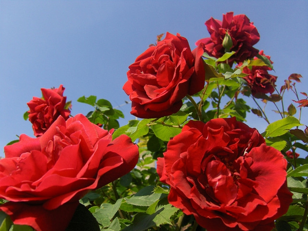 rückschnitt im frühjahr rosen buschrosen rot schön