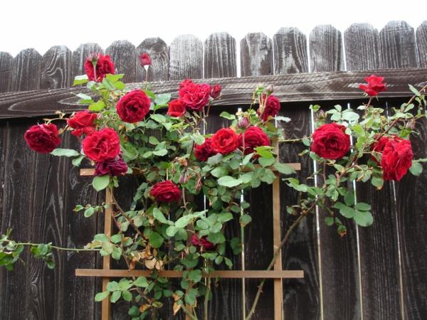 rosenrückschnitt frühjahr buschrosen rot