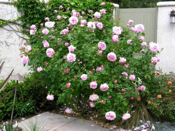 rückschnitt im frühjahr rosa rosen blüten buschrosen vorgarten