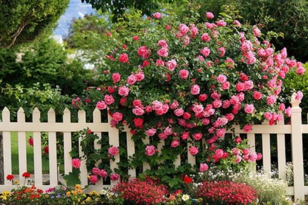 rückschnitt im frühjahr buschrosen zaun rosen