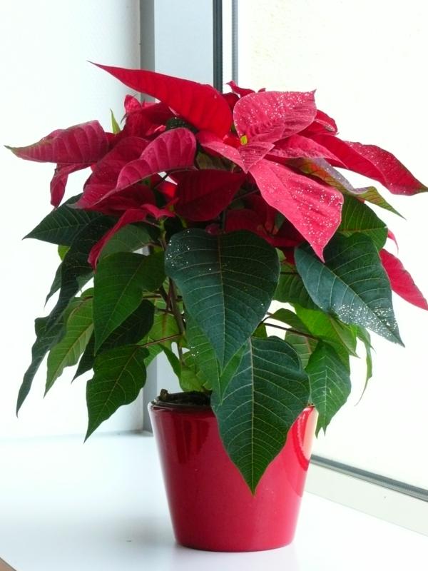 weihnachtsstern Topfpflanze Dekorative Zimmerpflanzen
