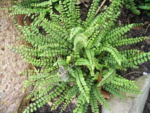 Asplenium trichomanes exotisch arten