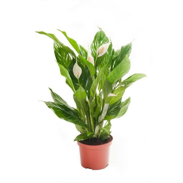 Friedenslilie beliebte zimmerpflanzen topfpflanzen schön