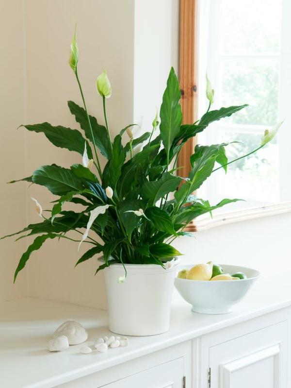 Friedenslilie beliebte zimmerpflanzen topfpflanzen weiß