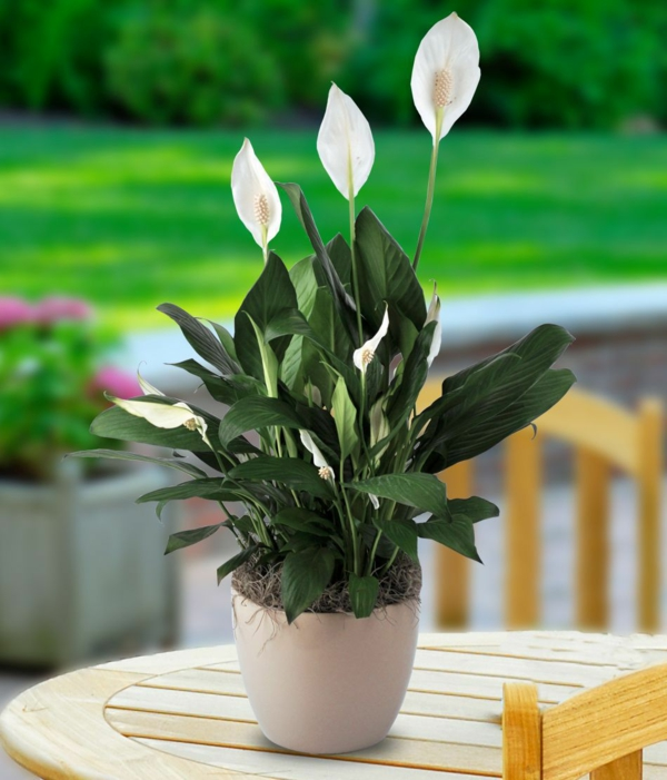 Friedenslilie beliebte blumentopf topfpflanzen