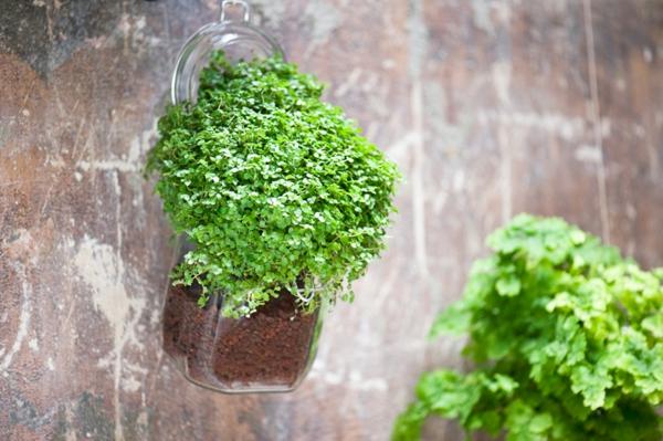 Helksine frisch bibokopf grün blätter