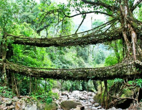 Naturbrücken Wurzeln und Weinreben grün