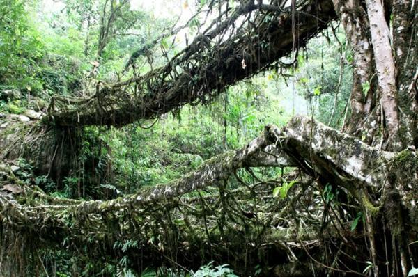 Naturbrücken Wurzeln wachsenden Weinreben laub