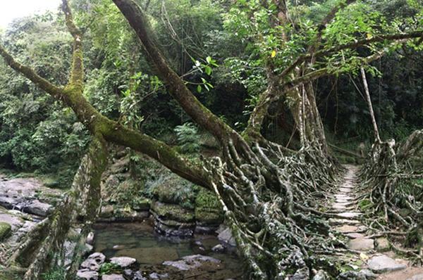 Naturbrücken aus wachsenden Wurzeln Weinreben zweige