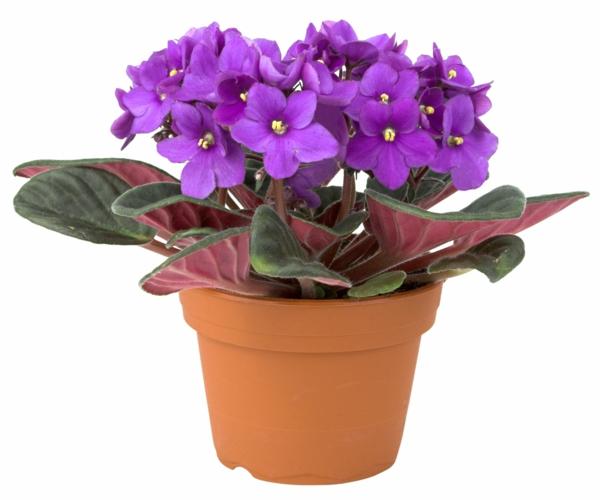 Robuste düngen blütenpflanzen Zimmerpflanzen afrikanisch