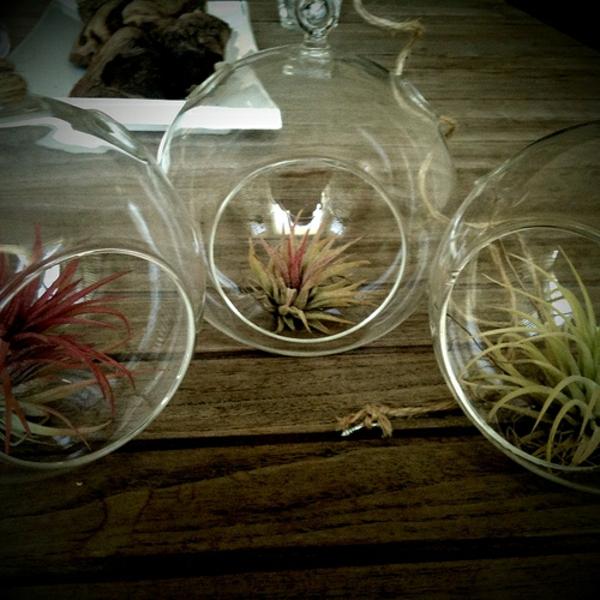 Robuste air plants Zimmerpflanzen luftpflanzen