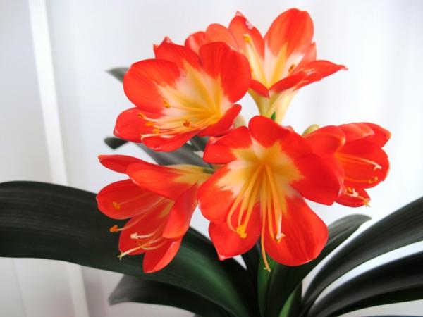 Robuste niedliche rot weiß Zimmerpflanzen rot blüten