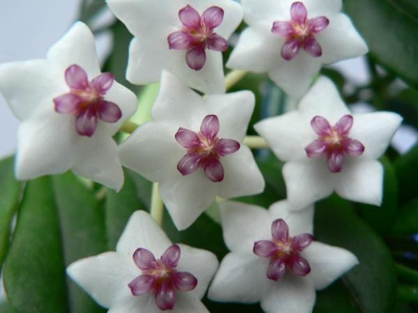 Robuste Zimmerpflanzen weiß lila