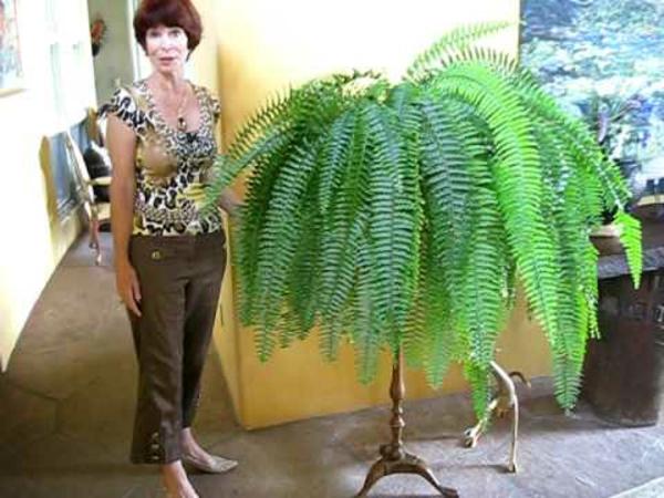 enorm zimmerpflanzen Schwertfarn ideen feng shui