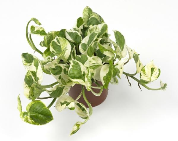 Scindapsus Zimmerpflanzen für dunkle Räume leicht pflegen