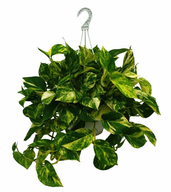 Zimmerpflanzen f r dunkle r ume for Plantas de interior para colgar