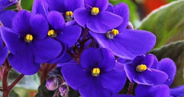 Usambaraveilchen auffallend beliebte zimmerpflanzen samt