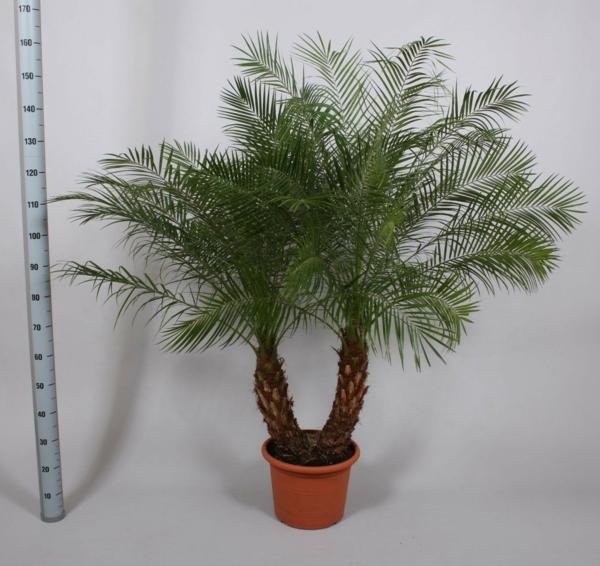 Zwergdattelpalme blumentopf zimmerpflanzen feng shui