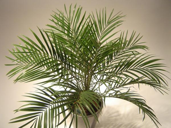 Zwergdattelpalme feng shui einrchtung topfpflanzen