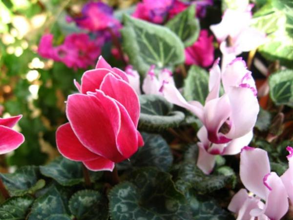 Zyklame grüne zimmerpflanzen topfpflanzen farben