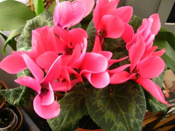 Zyklame blüten grüne zimmerpflanzen topfpflanzen