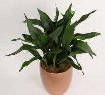 Zimmerpflanzen für dunkle Räume geeignet