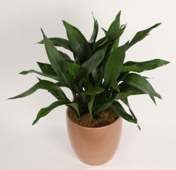 aspidistra zimmerpflanzen für dunkle räume grün gesättigt