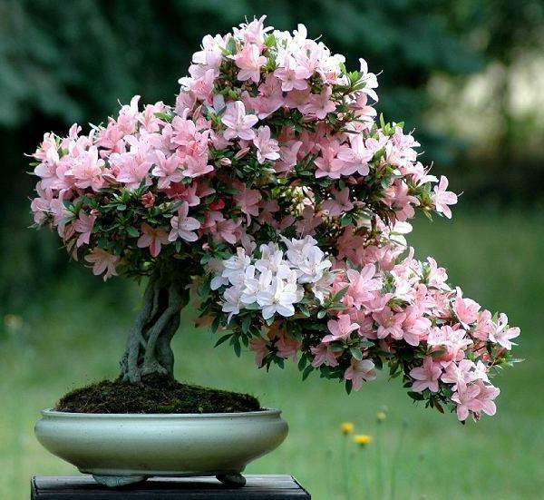 azalee indien exotisch blumentopf zimmerpflanzen
