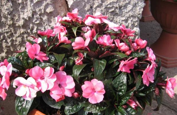 grüne zimmerpflanzen blüten blumentopf