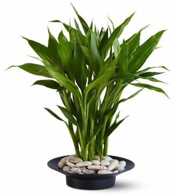 bambus blattwerk palme feng shui zimmerpflanzen