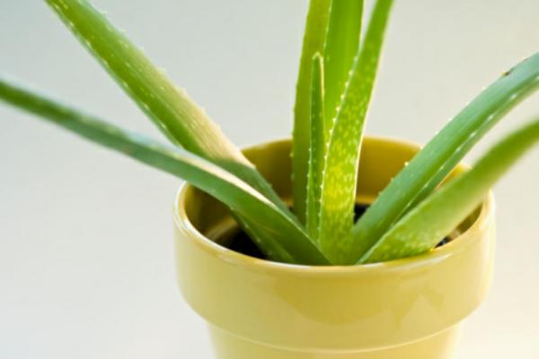 Gr ne zimmerpflanzen bl hende pflegeleichte topfpflanzen for Kleine fliegen in topfpflanzen