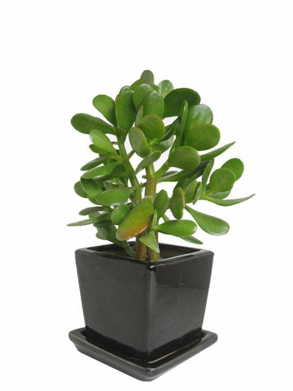 beliebteste grünpflanzen topfpflanzen pflegeleicht geldbaum