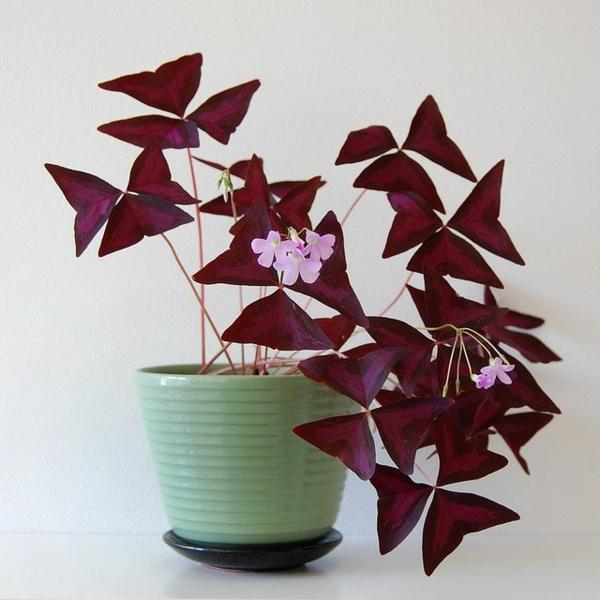beliebteste topfpflanzen zimmerpflanzen blühend oxalis tuberosa sauerklee