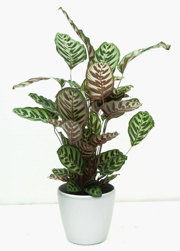 wohnzimmer pflanzen wenig licht : beliebteste zimmerpflanzen calathea ...