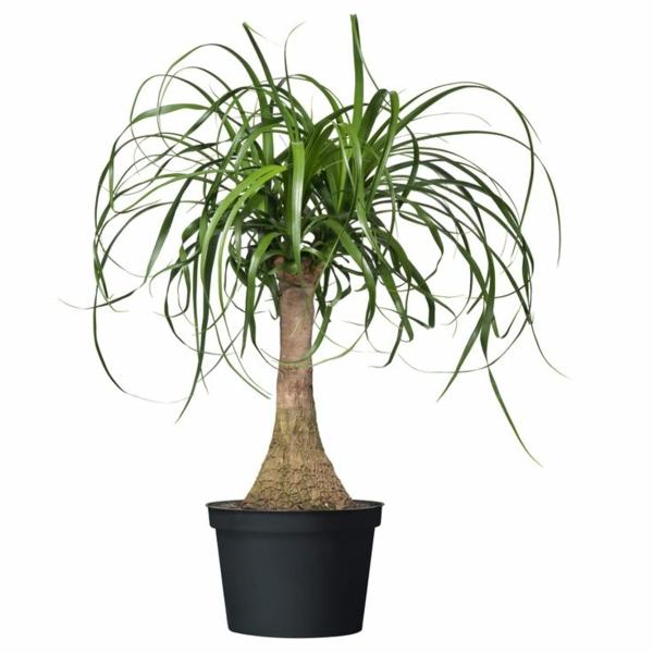 beliebteste zimmerpflanzen elefantenfuß flaschenbaum wasserpalme