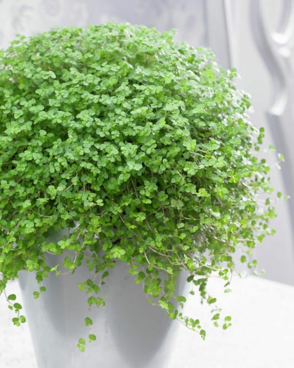 beliebteste zimmerpflanzen soleirolia soleirolii bubikopf