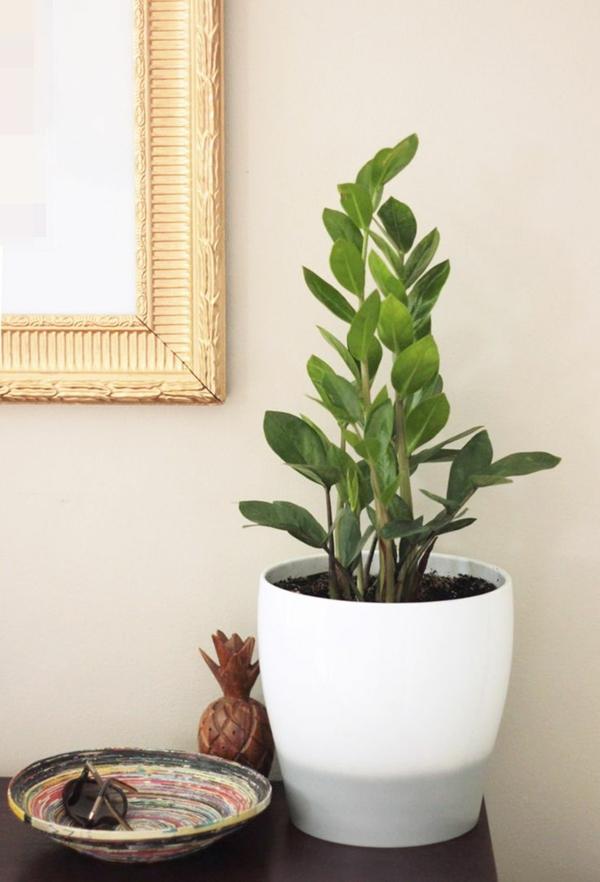 beliebteste zimmerpflanzen zamioculcas zamiifolia