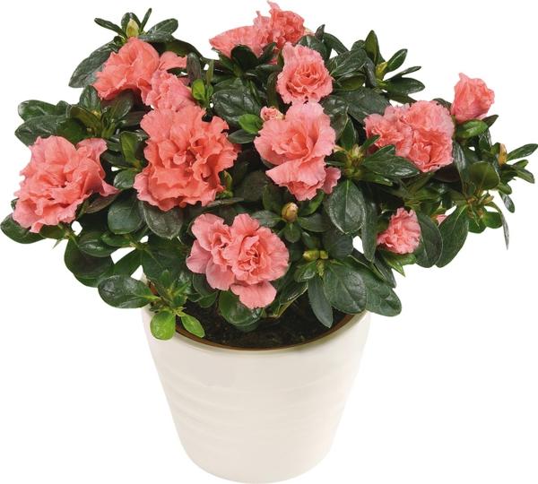 beliebteste zimmerpflanzen zimmerpflanzen blühend azaleen topfpflanze