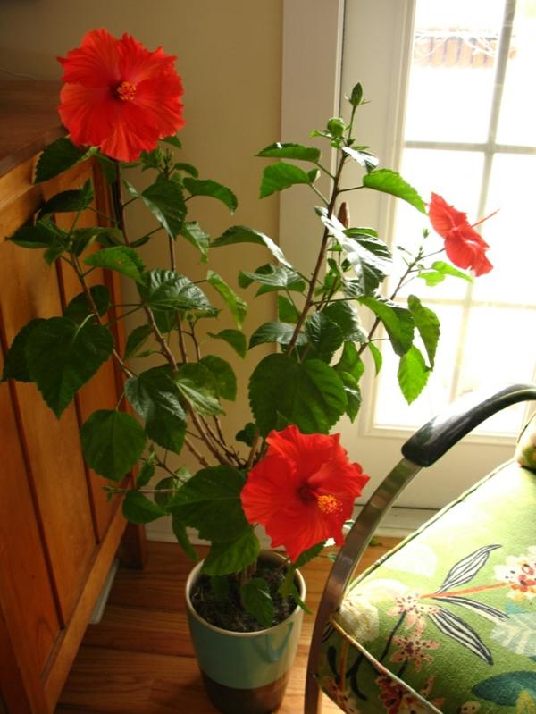 beliebteste zimmerpflanzen zimmerpflanzen blühend hibiskus rot