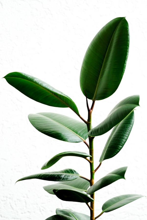 zimmerpflanzen groß topfpflanzen benjamini blattwerk